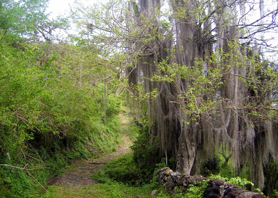Tillandsia hangs from trees along the Camino Real route