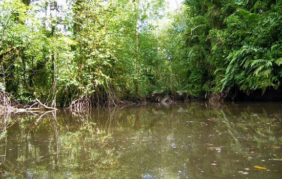 Mangroves around Ladrilleros