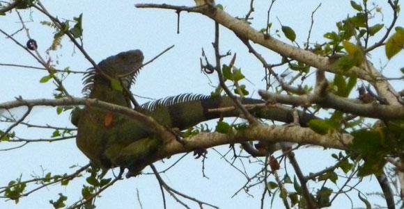 Iguana near Mompox