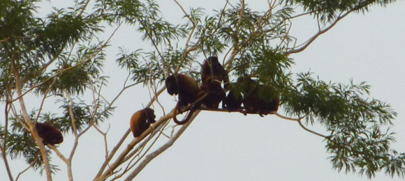 Howler monkeys near Mompox