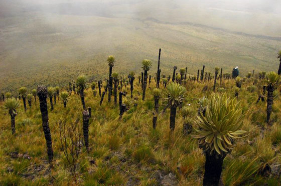Frailejones on the slopes of Paramo de Romerales