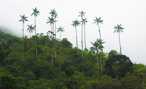 Wax palm trees, Salento, Colombia