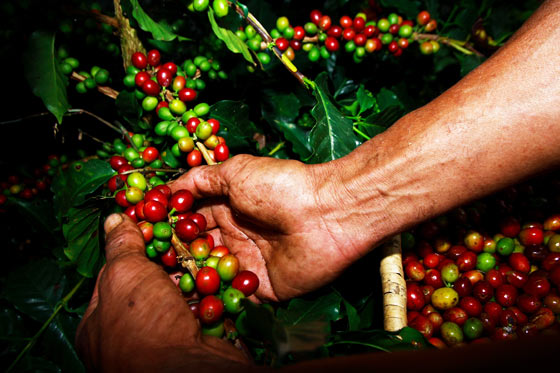 Collecting coffee beans on a Finca Tour